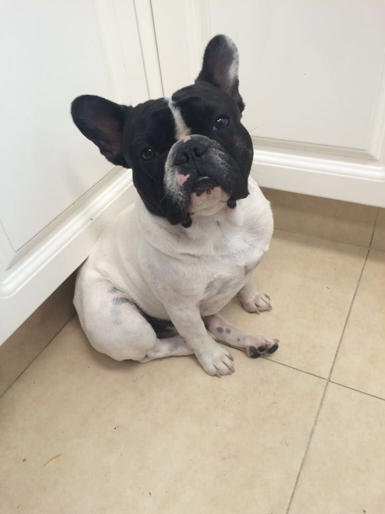 Mortadelo Esperando Que Le Caiga Algo De Comida Mortadelo The French Bulldog Is Waiting For His Dinner Bulldog French Bulldog Dogs