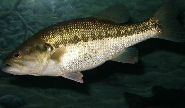 5. New Mexico's Largest: Largemouth Bass
