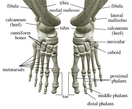 Foot And Ankle Bone Anatomy Faa03 Human Skeleton Pinterest