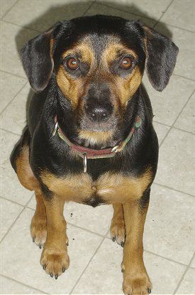Beagle Doberman Pinscher Mix This Looks Like My Other Dog