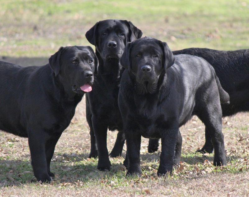 Golden Retriever Noble Loyal Companions Labrador Retriever