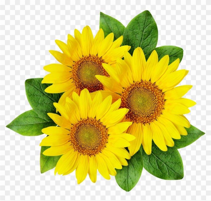Clipart에 있는 Iris Solbach님의 핀 꽃 삽화 해바라기 해바라기 그림