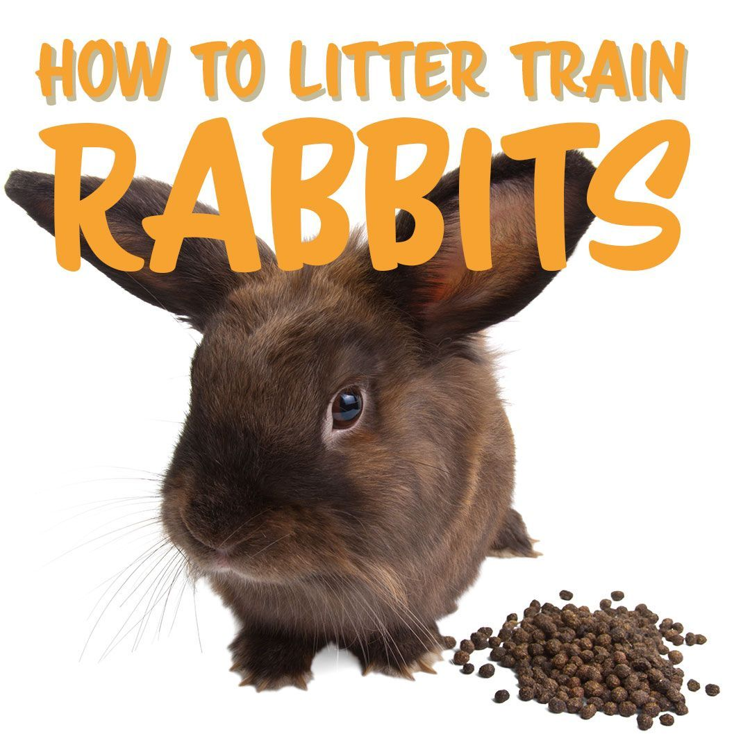 How to litter train a rabbit easy if you know how hr
