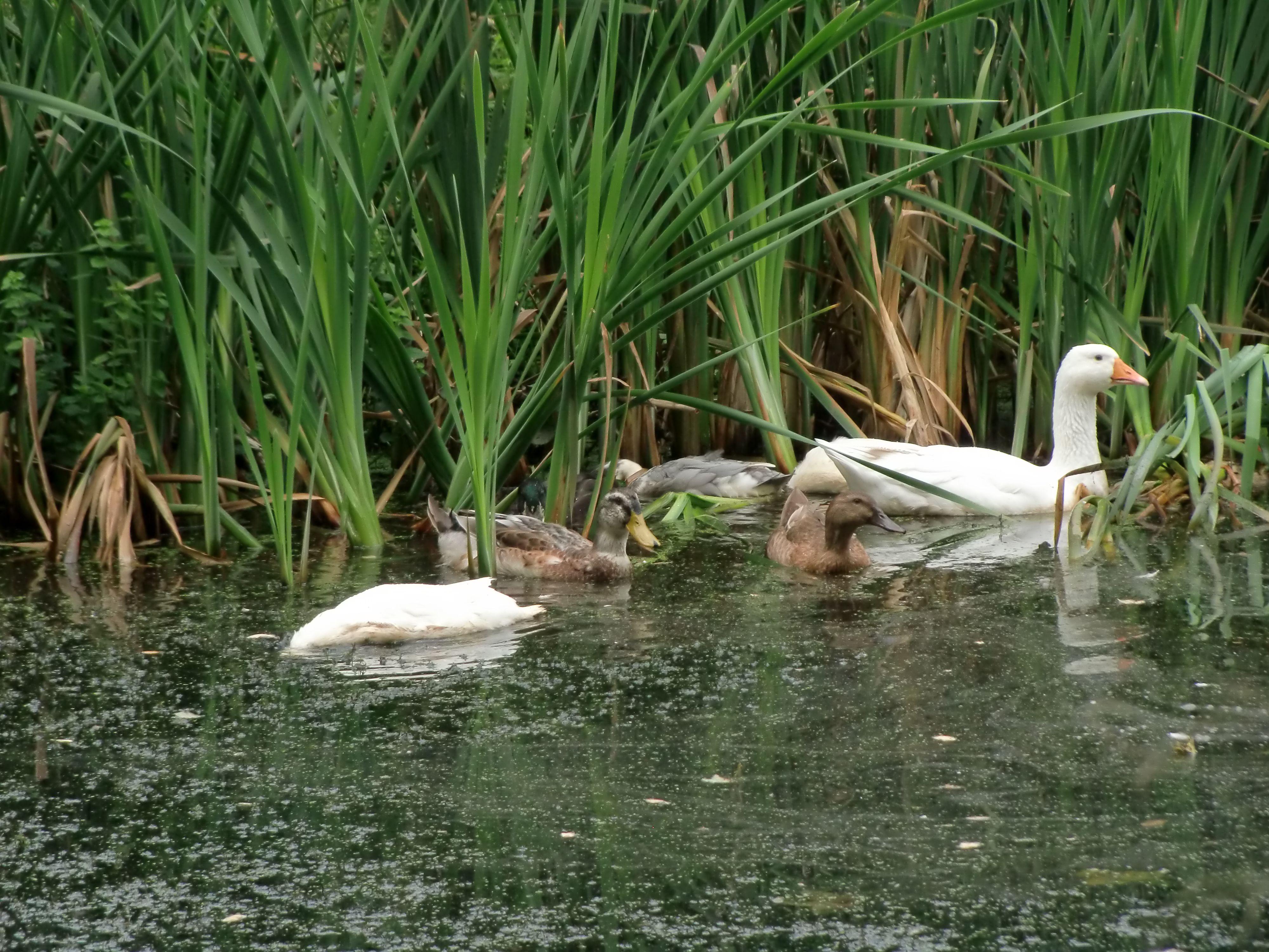 Onze eenden en gans/Our ducks and goose