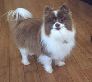 Adopt Brandi On Pomeranian Dog Small Dog Rescue Dog Adoption