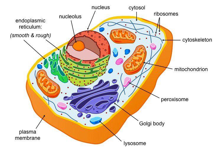 Eukaryotes Are Organisms Whose Cells Contain A Nucleus