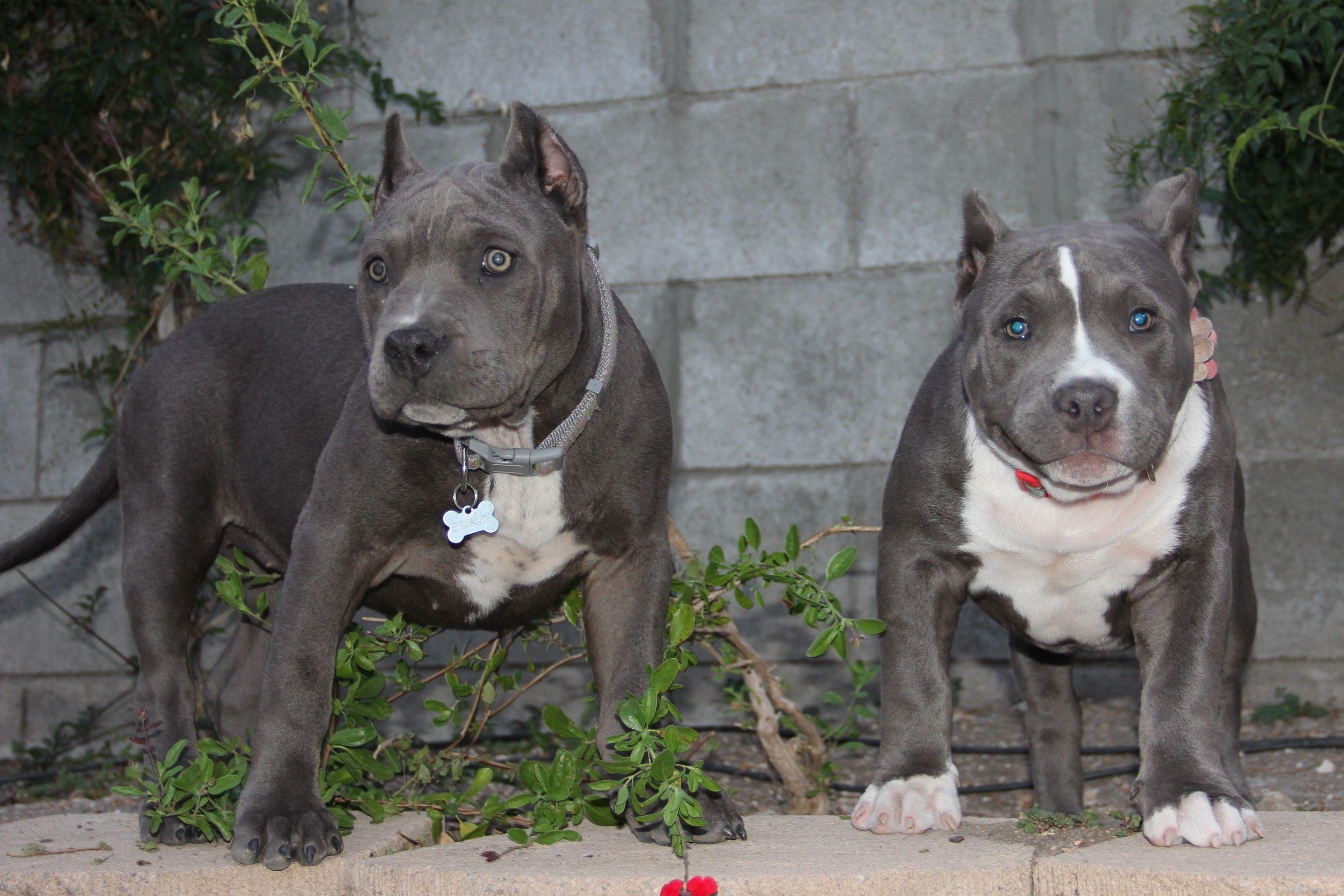 Stormy And Suma Pretty Dogs Nanny Dog