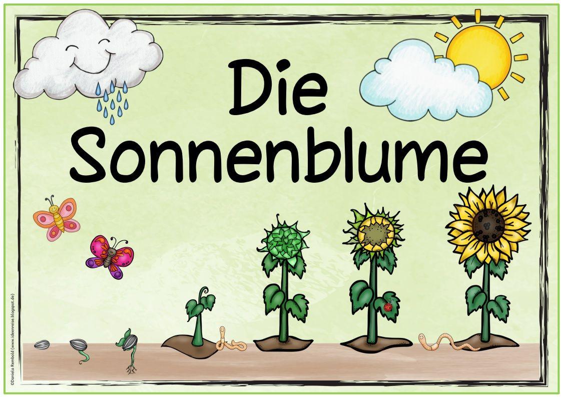 Themenplakat die sonnenblume ebenfalls gew nscht wurde for Projekte im kindergarten herbst