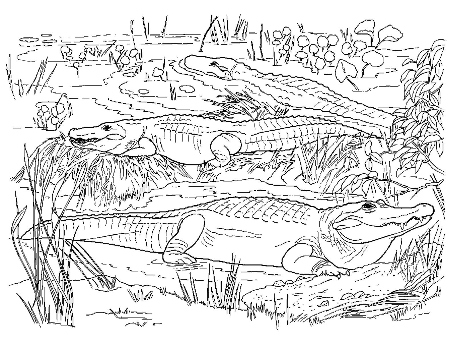 Realistic Alligator Coloring Pages Animal coloring pages