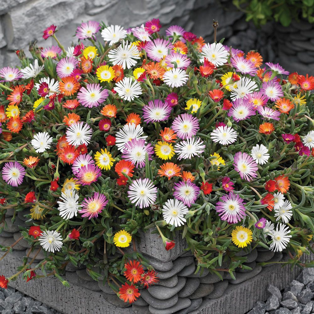 Delosperma hardy ice plant perennial vigorous ground cover even in the driest of soils - Hardy houseplants ...