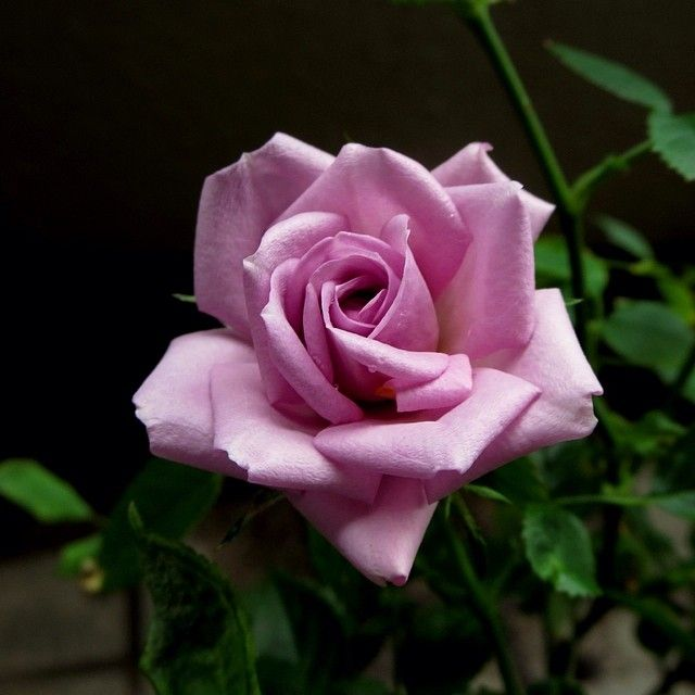 Pin by Carmen Williams on Roses   Rose flower, Rose flower pictures, Love flowers