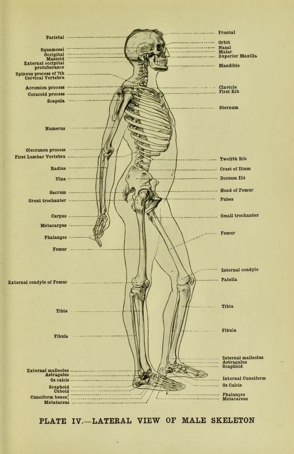 Lateral view of a male skeleton, from \'Human anatomy for art ...