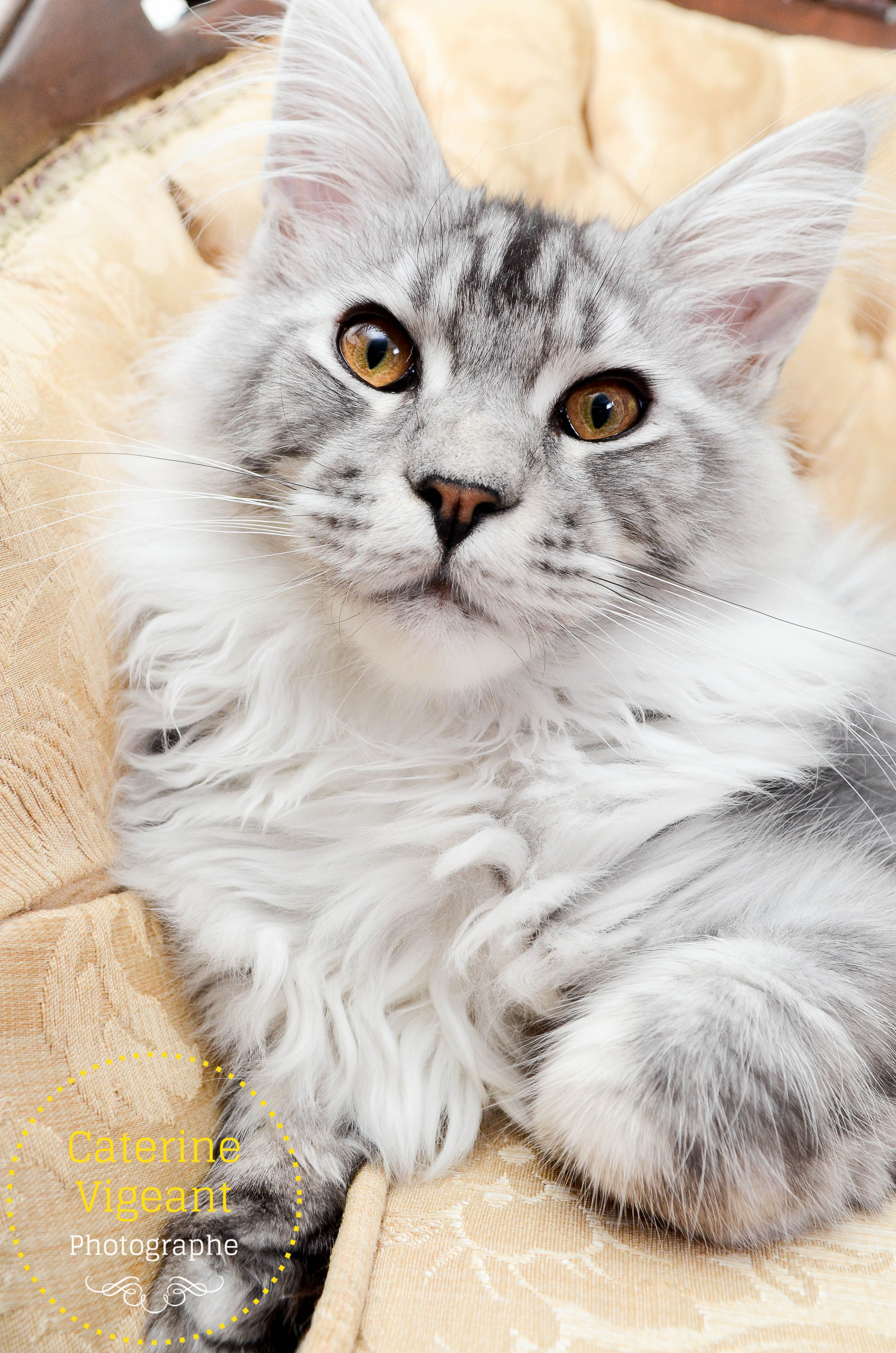 Park Art My WordPress Blog_How Much Does It Cost To Buy A Maine Coon Kitten