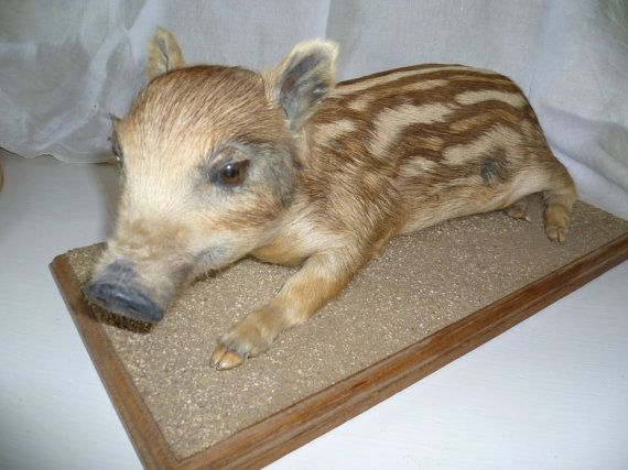 Vintage French Baby Wild Boar Piglet on oak by SeriouslyGorgeous, €95.00