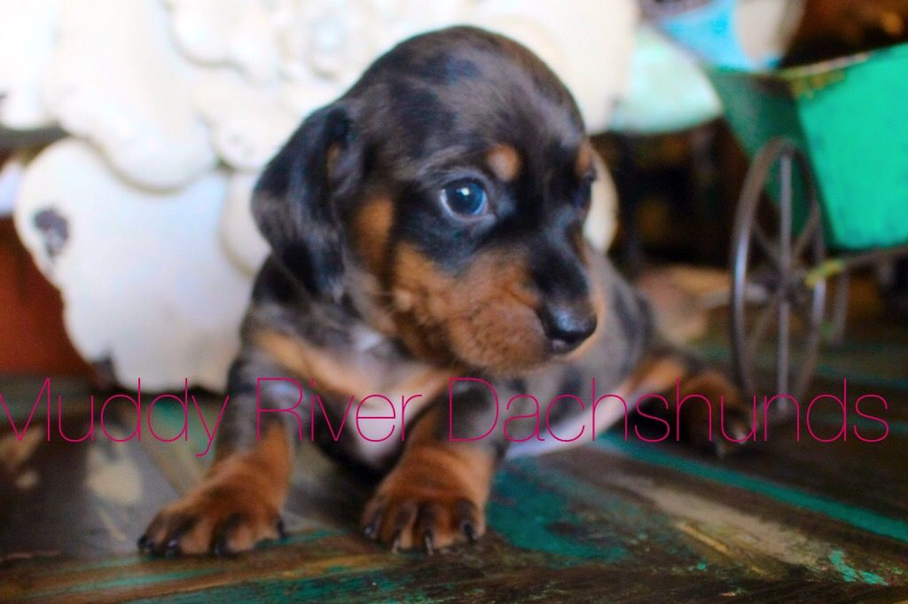 Miniature Dachshund Puppies For Sale In Florida Little Doxies