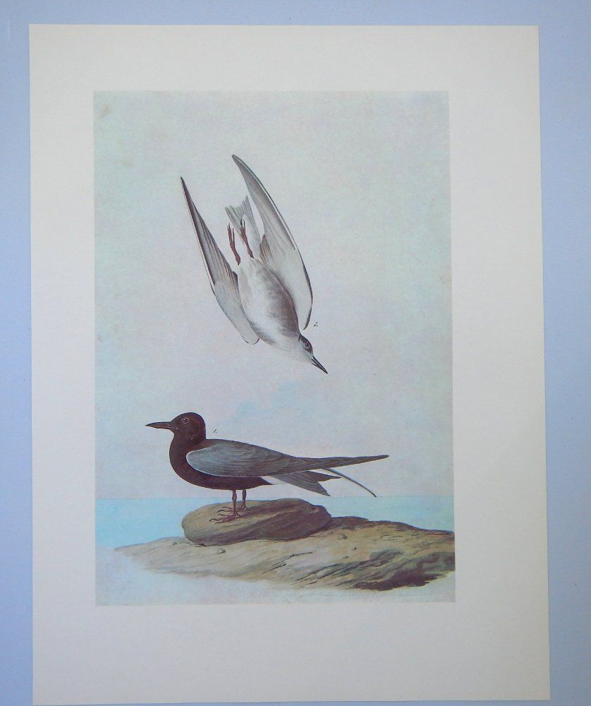 Audubon Vintage Bird Print Black Tern Audubon Print Vintage