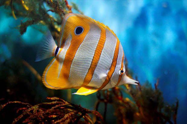 Poisson d 39 aquarium aquarium d 39 eau de mer pinterest for Poisson eau froide pour aquarium
