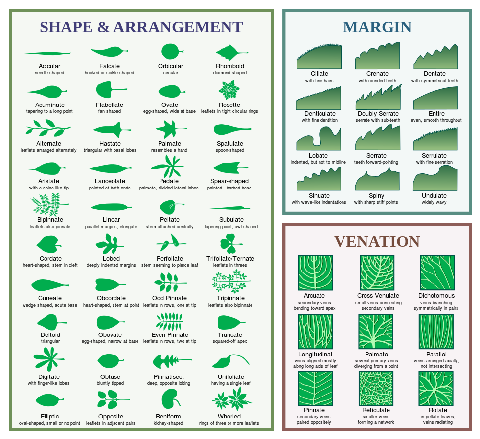 Identifying trees by their leaves