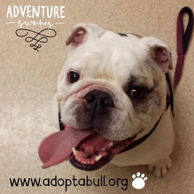 Daphne French Bulldog We Will Assess All Applications As Soon