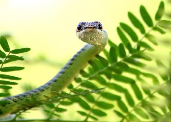 Flying Snake Snake Animals Lizard