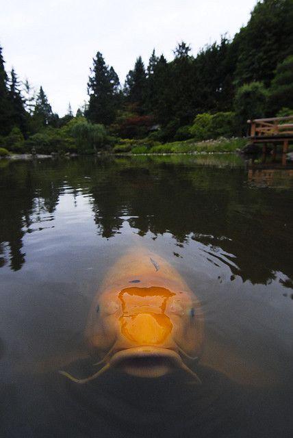 Biggest Koi Fish : biggest, Cheese!, Animals,, River, Monsters,