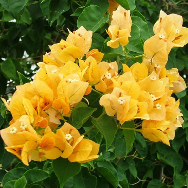 Bougainvillea (Yellow) - Plant | Flowers perennials ...