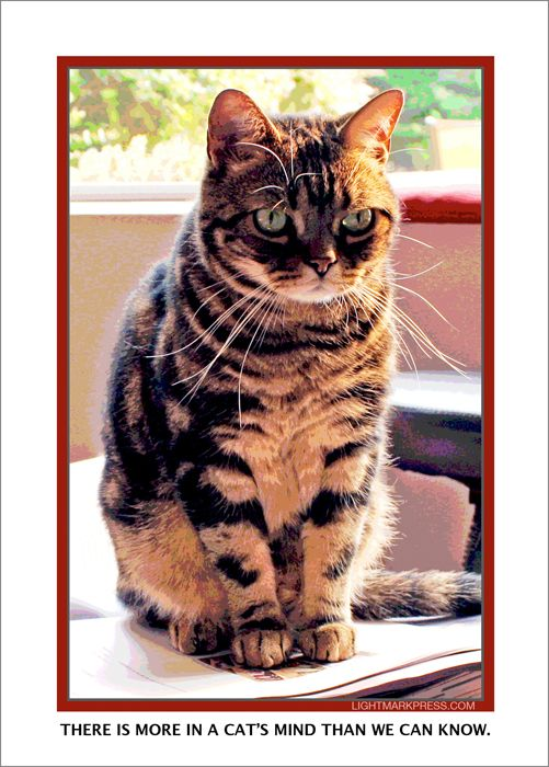 Toby, my friend Carole's American shorthair, contemplating ...