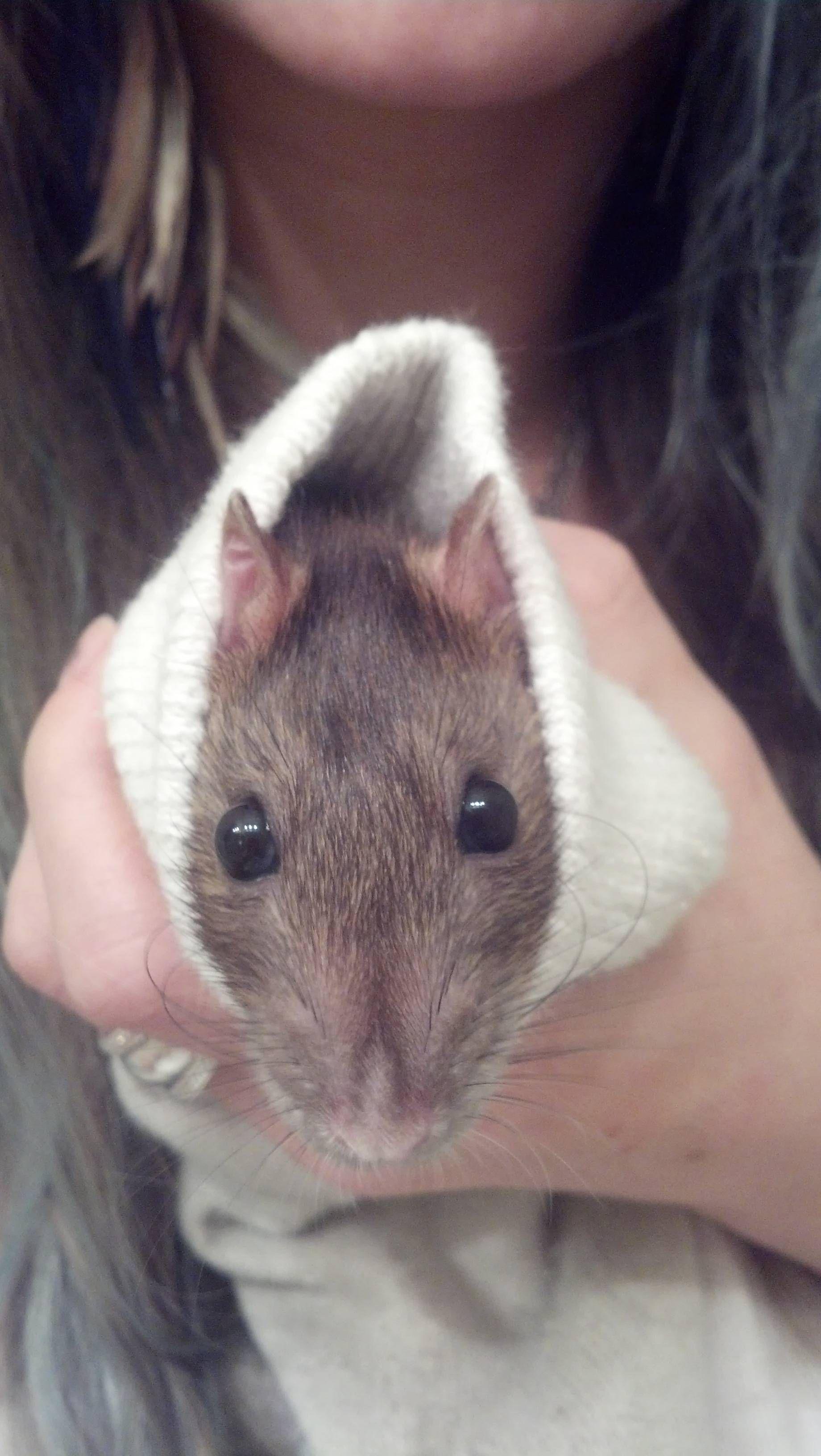 Just A Rat In A Sock Imgur Cute Rats Rats Pet Rats