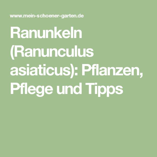 Ranunkeln (ranunculus Asiaticus): Pflanzen, Pflege Und Tipps ... Balkonblumen Pflanzen Kalten Jahreszeit