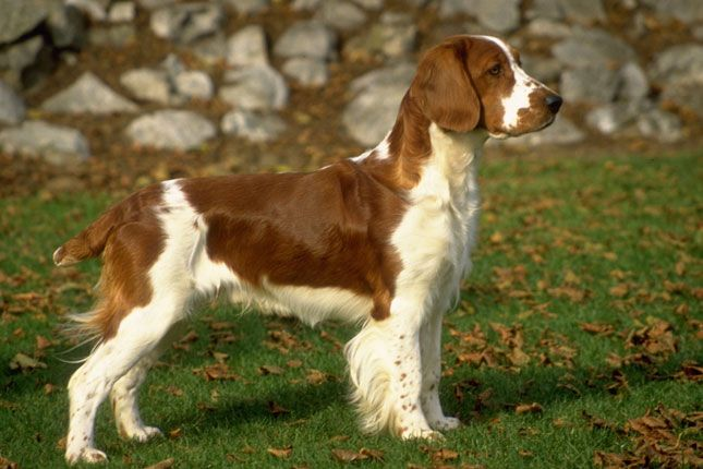Welsh Springer Spaniel Welsh Springer Spaniel Puppies Springer