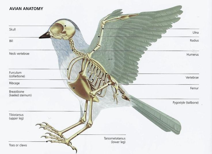 Bird Basic Anatomy