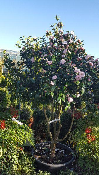 Camellia Japonica Nuccios Pearl Pink Camellias Buy Online Uk Garden Care Camellia Tree Camellia