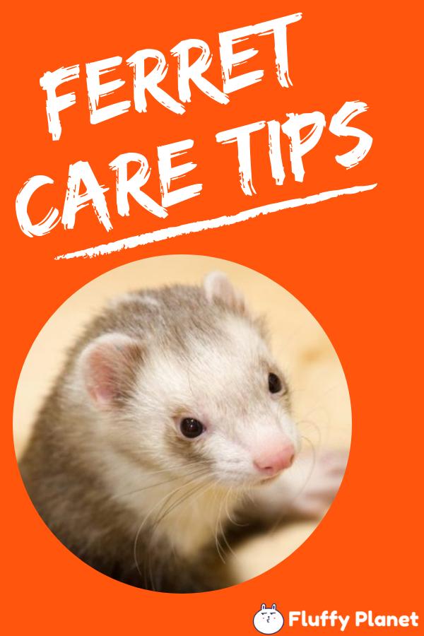 Ferret Care Tips Ferrets Care Ferret Pet Ferret