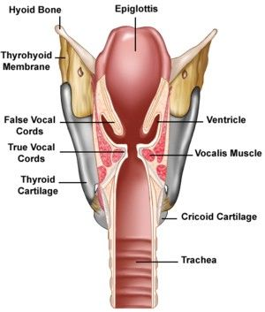 larynx from the back (great view of false vocal folds) | Anatomy and ...