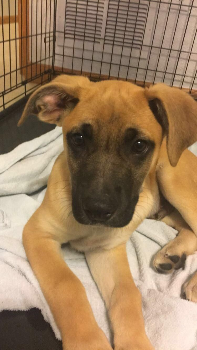 Heres My New German Shepherd Boxer Mix Any Name Ideas Dogpictures Dogs Aww Cuteanimals Dogsoftwitter D Boxer Mix Cute Dogs And Puppies Cute Dogs Images