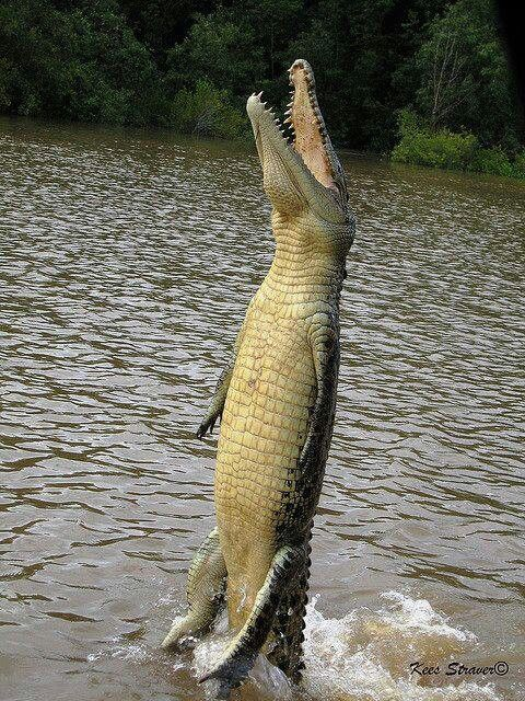 Instead of an upside down Alligator, here is a right side up one