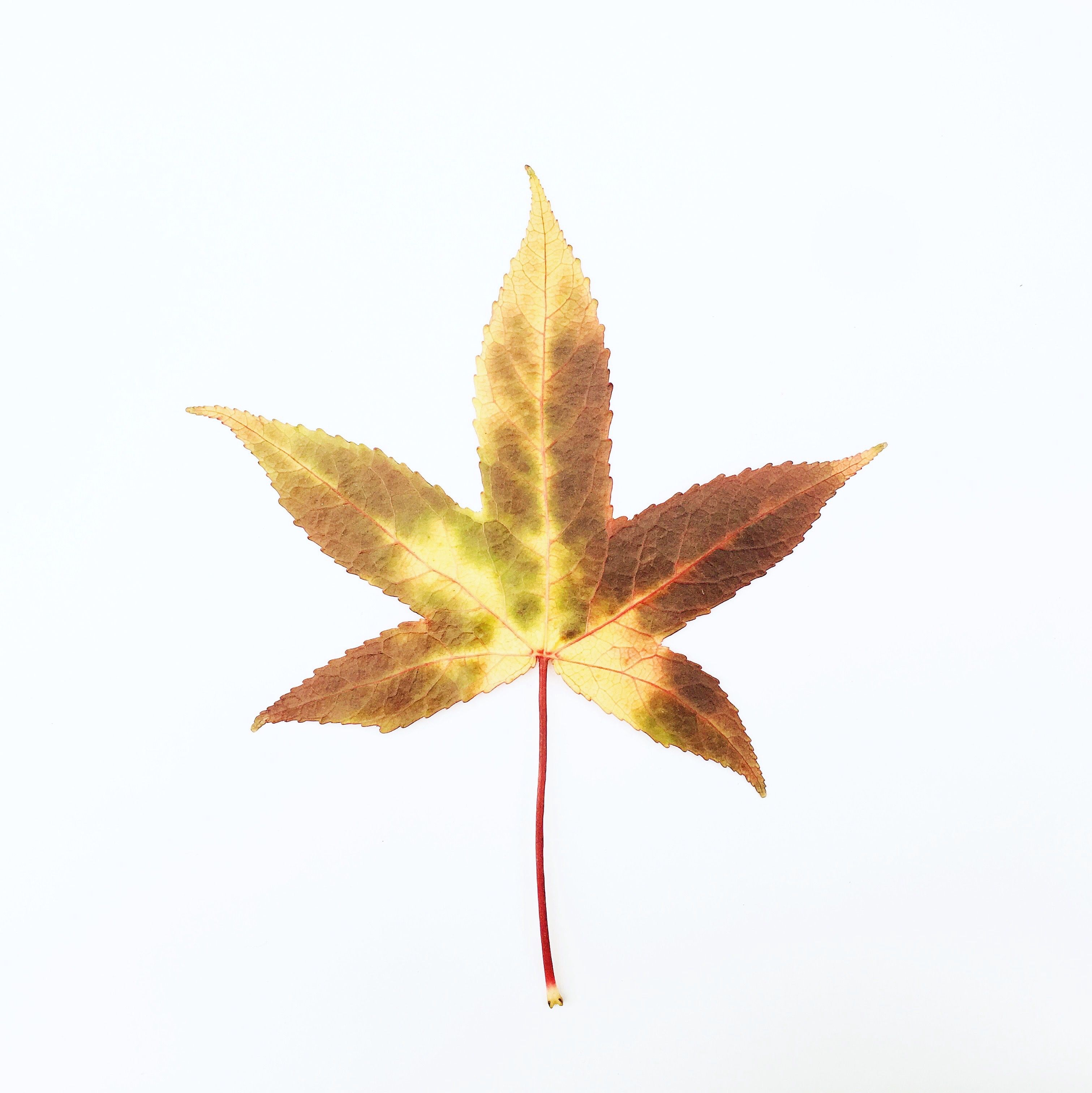 Leaf 6 Of The 1 000 Autumn Leaves Project Showcasing Sweet Gum