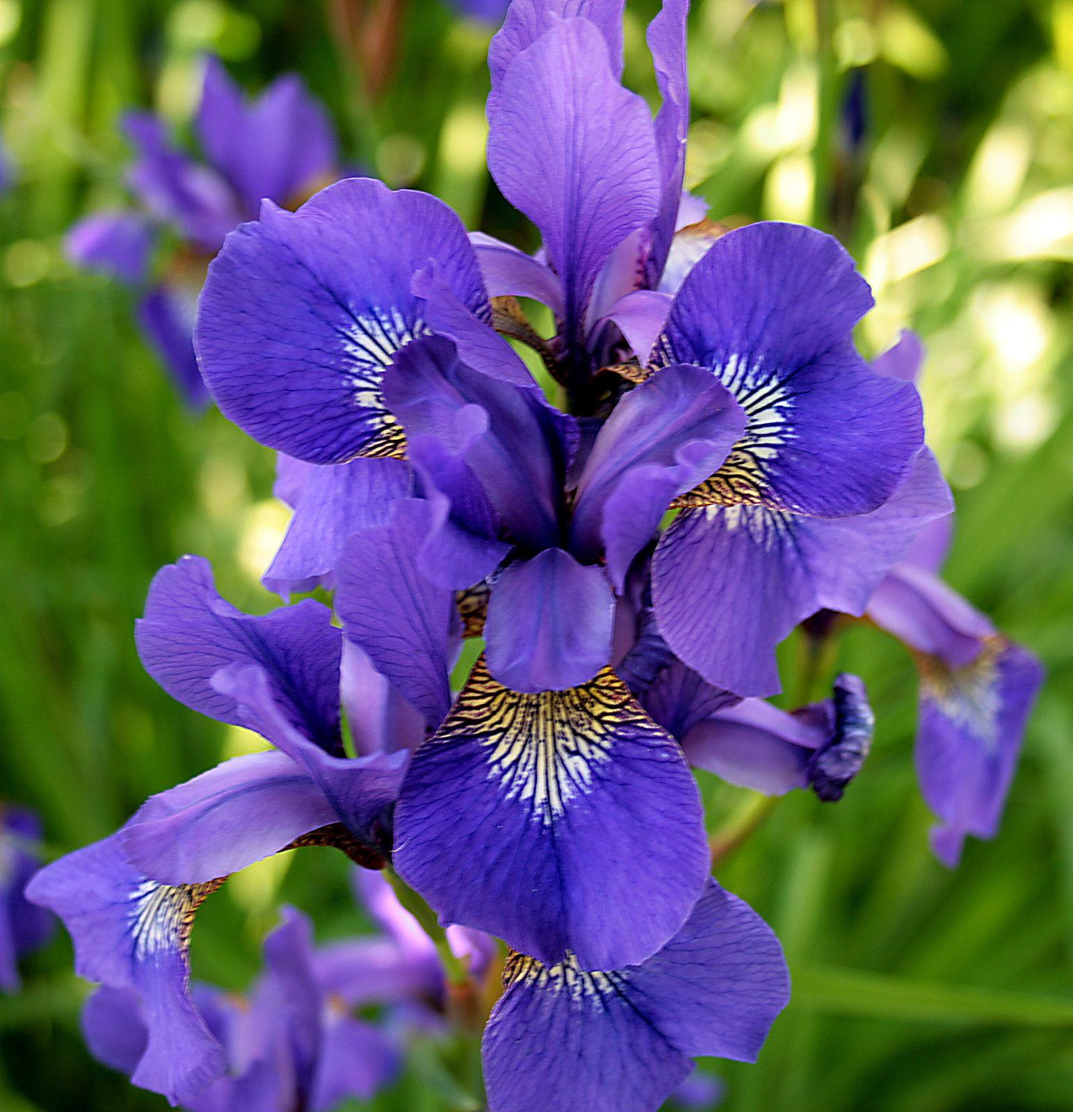 Purple and yellow iris other pinterest iris flowers flowers purple and yellow iris february birth flowers flowers garden iris flowers purple flowers izmirmasajfo