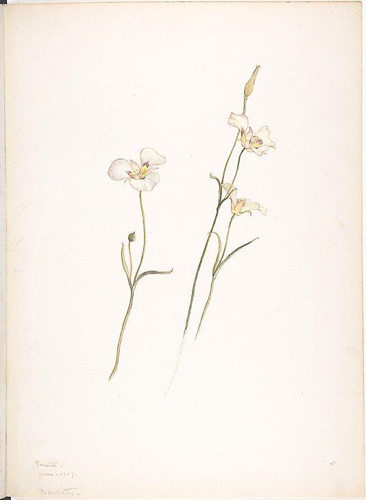 Margaret Neilson Armstrong Sego Lilies, Chalocortus nutallii