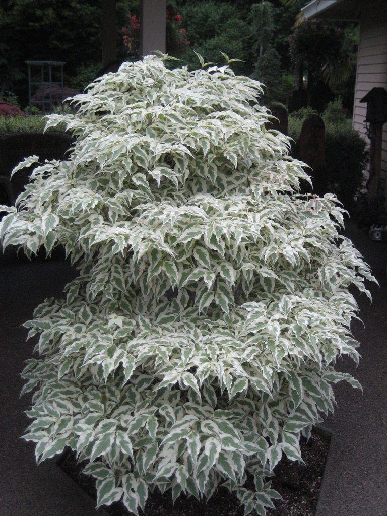 Kousa Dogwood Summer Fun Cornus Kousa 10 Tall Dogwood Trees Trees To Plant Ornamental Trees