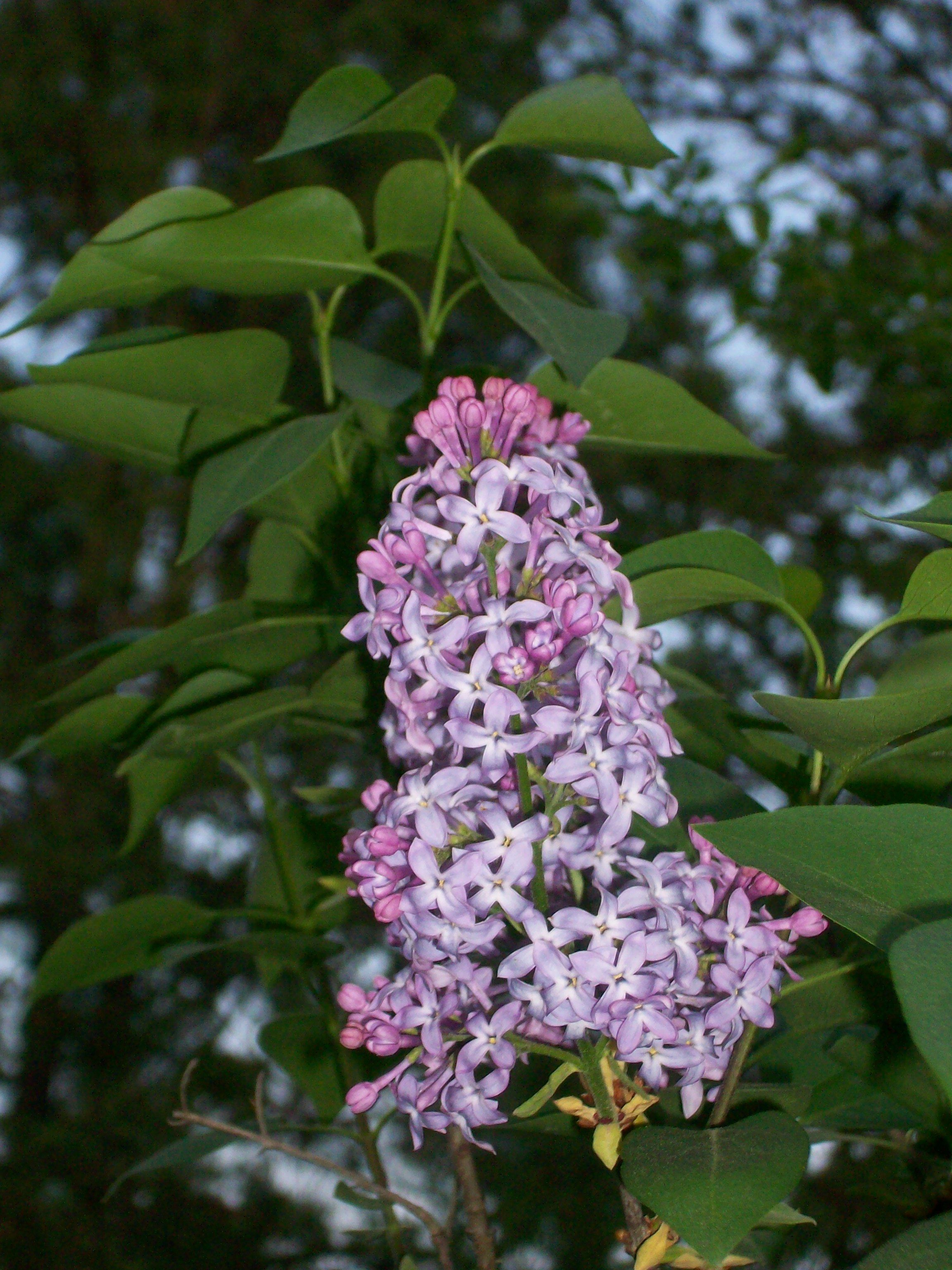 Lilac at sunset my pictures pinterest lilacs