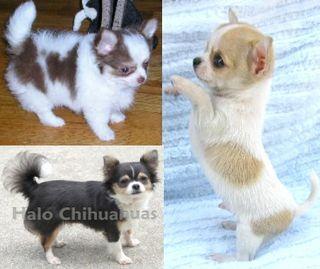 Chihuahua Dog Puppy Websites Cute Animals Chihuahua Cute