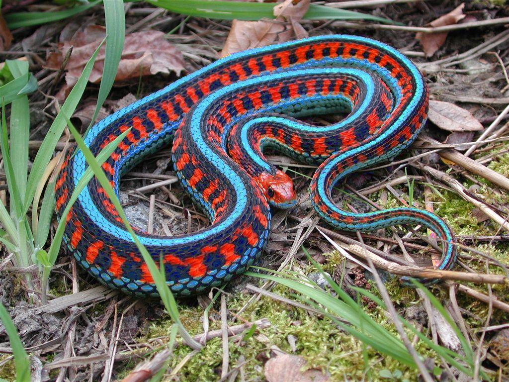 California Red Sided Garter Snake Snake Animals Beautiful