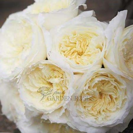 patience garden roses year round - White Patience Garden Rose