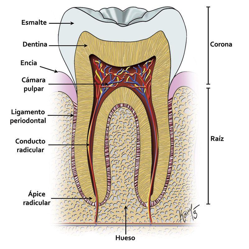 La pulpa dental proviene del mesénquima y tiene asignada un número ...