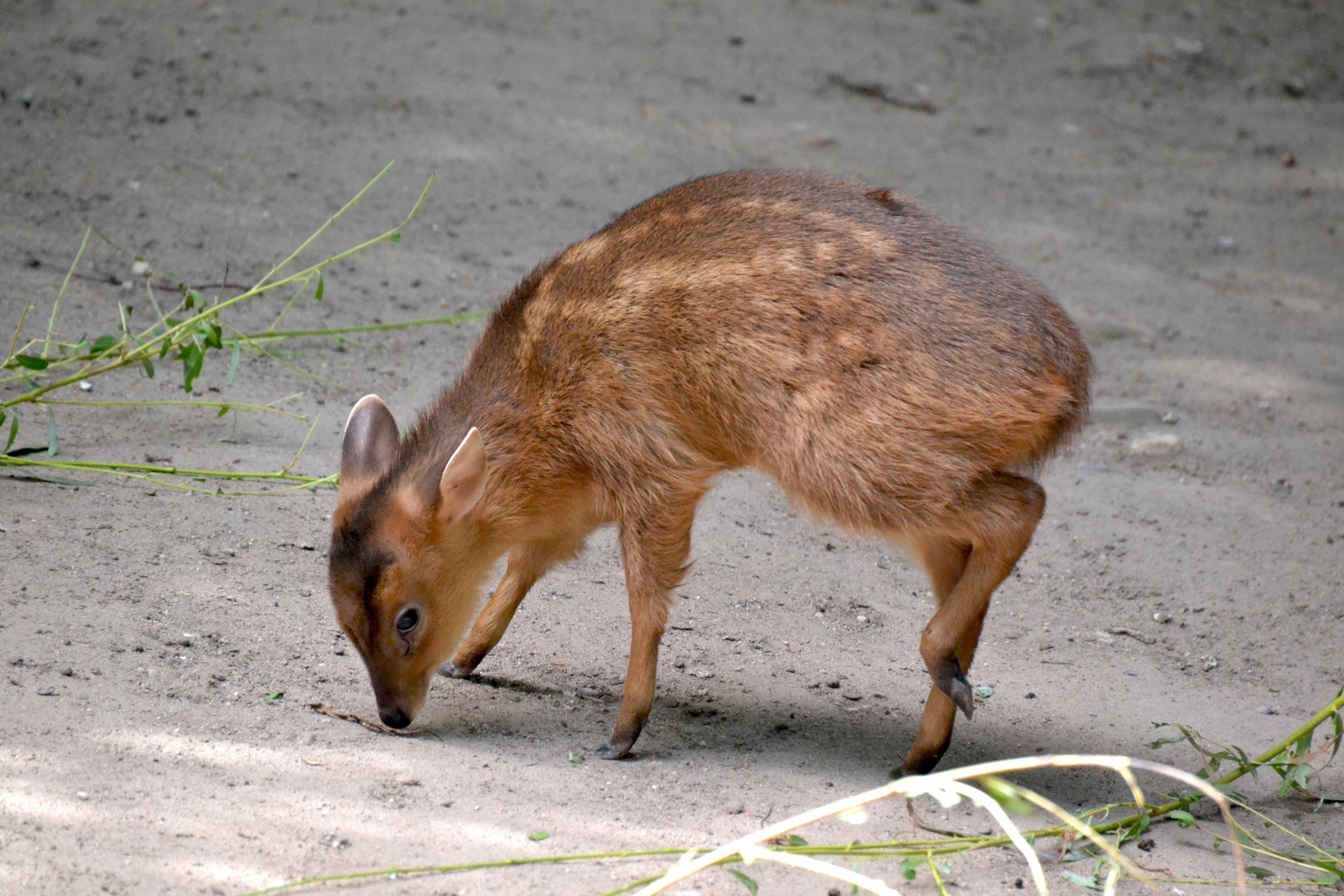 Chevrotain / Mouse Deer