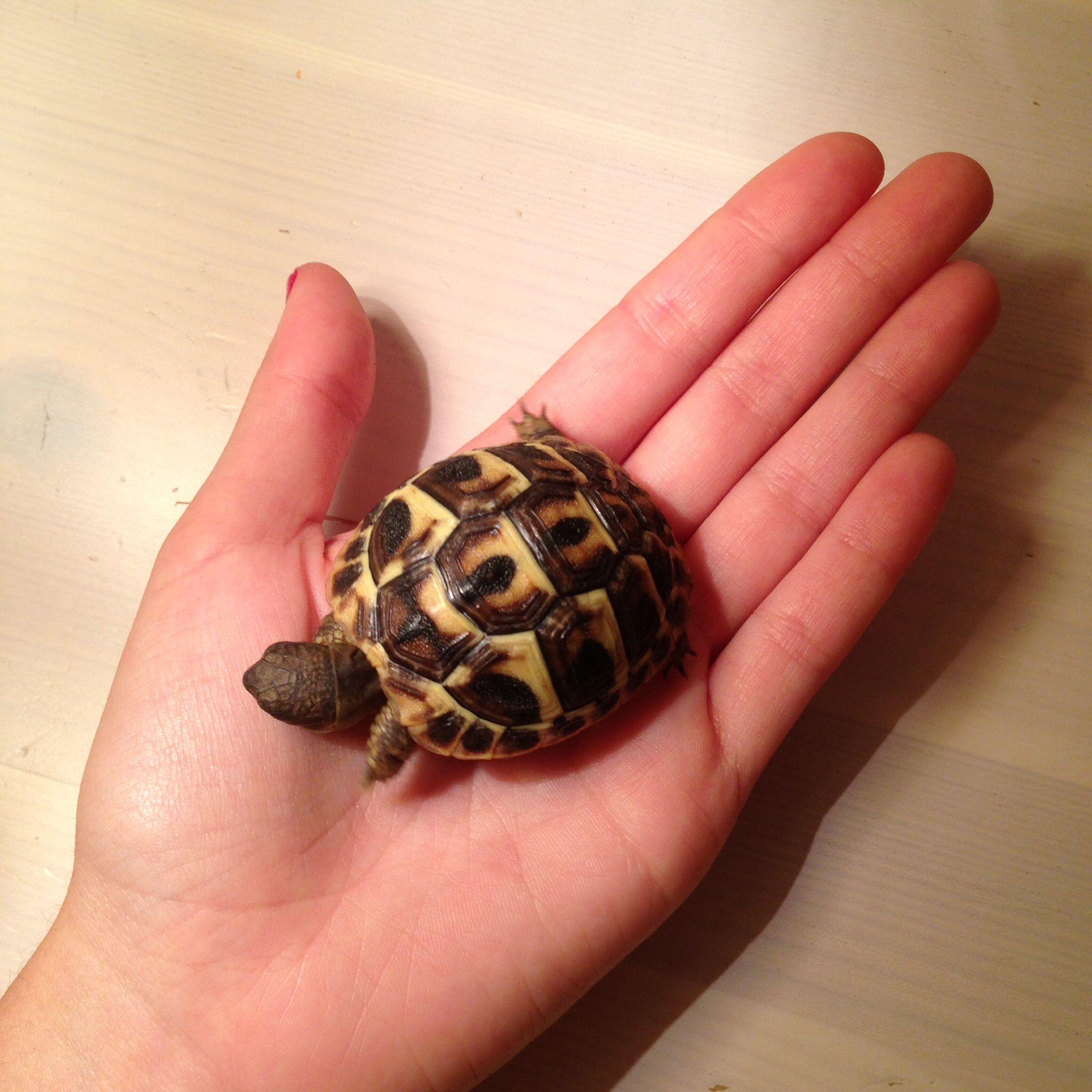 Otro miembro en la familia LÍA la bebe tortuga de Alba, es tal pequeñita !!!!!