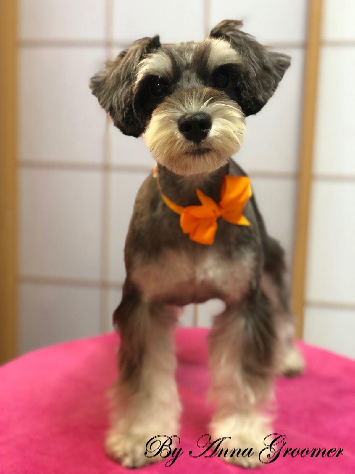 Mini Schnauzer Sophia Dog Grooming Salons Dog Daycare Schnauzer Grooming