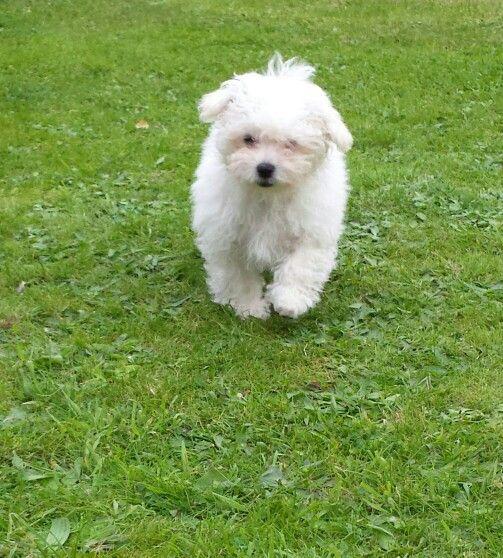 Bolognese Puppy Floss Bolognese Dog Maltese Puppy Maltese Dogs