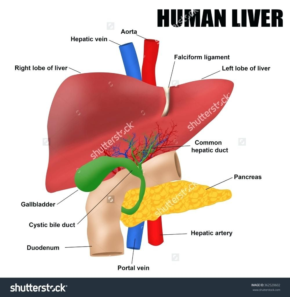 Human Spleen Diagram